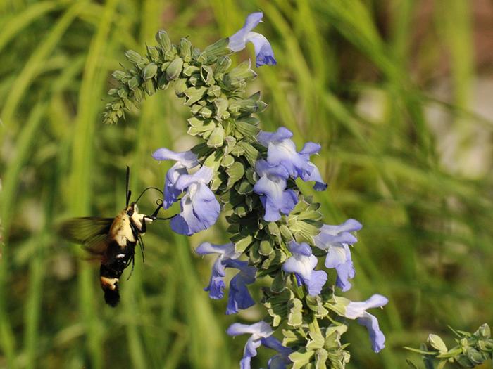 Hummingbird moth steven severinghaus