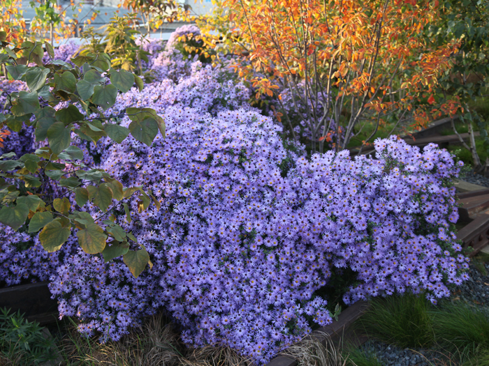 Aster-oblongifolia-'Raydon'.jpg